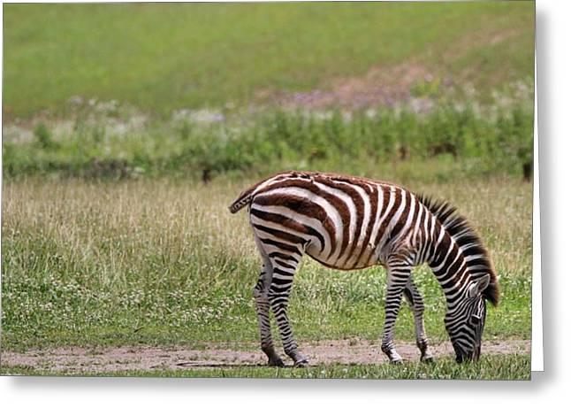 Lone Zebra Greeting Card
