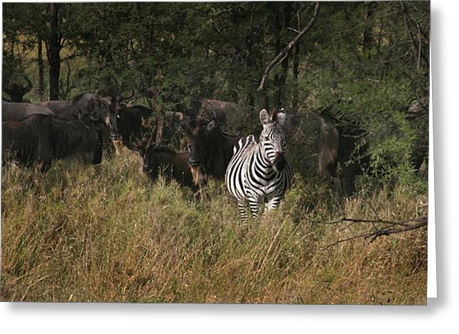 Greeting Card featuring the photograph Lone Zebra by Joseph G Holland