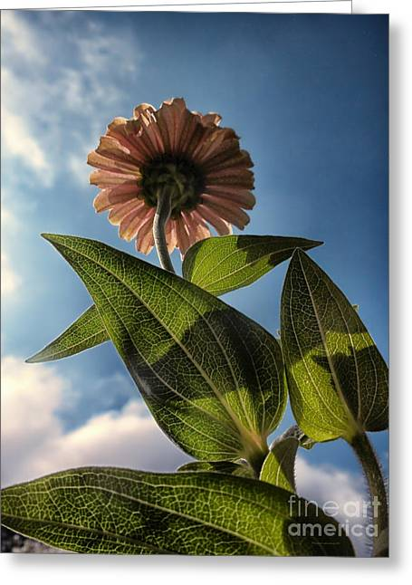 Lone Zinnia 01 Greeting Card by Thomas Woolworth