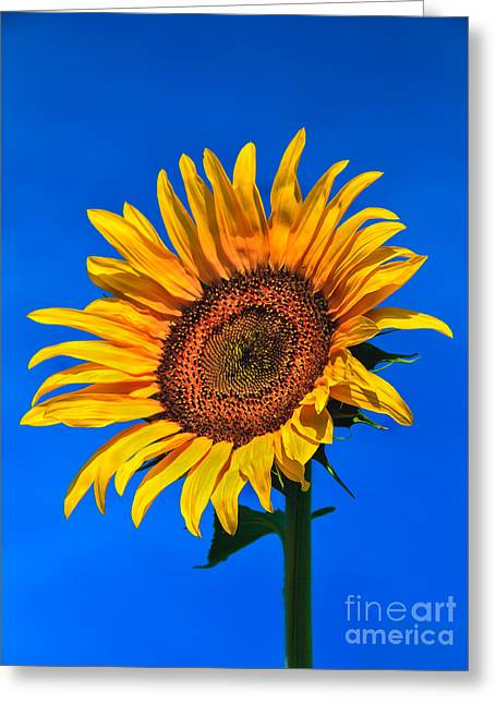 Lonely Sunflower Greeting Card by Robert Bales