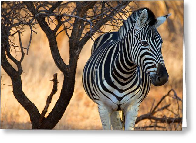 Lonely Zebra Greeting Card by Phil Stone