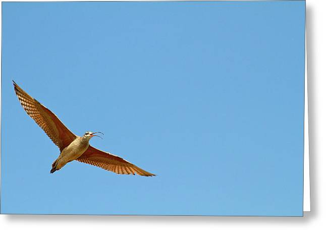 Long-billed Curlew In Flight Greeting Card