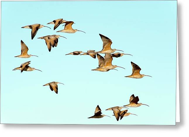 Long-billed Curlews In Flight Greeting Card by Christopher Swann