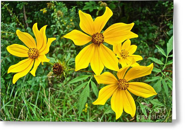 Long-bracted Tickseed Sunflower Wildflower - Bidens Polylepis Greeting Card by Mother Nature