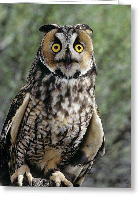 Long Eared Owl Asio Otis Europe, Asia Greeting Card