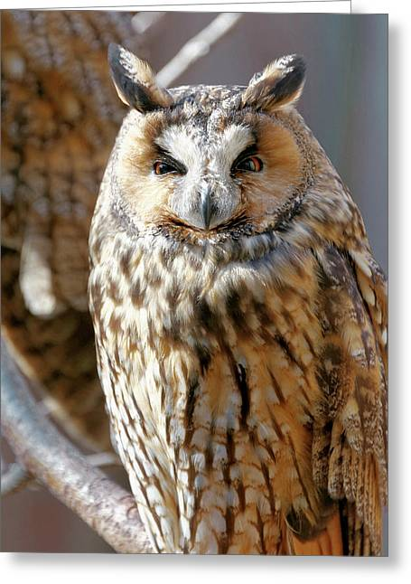 Long-eared Owl Greeting Card by Heiti Paves