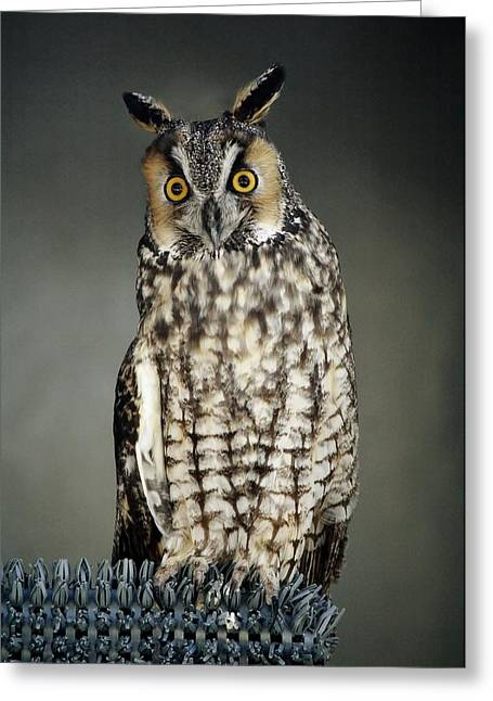 Long-eared Owl Greeting Card by Paulette Thomas