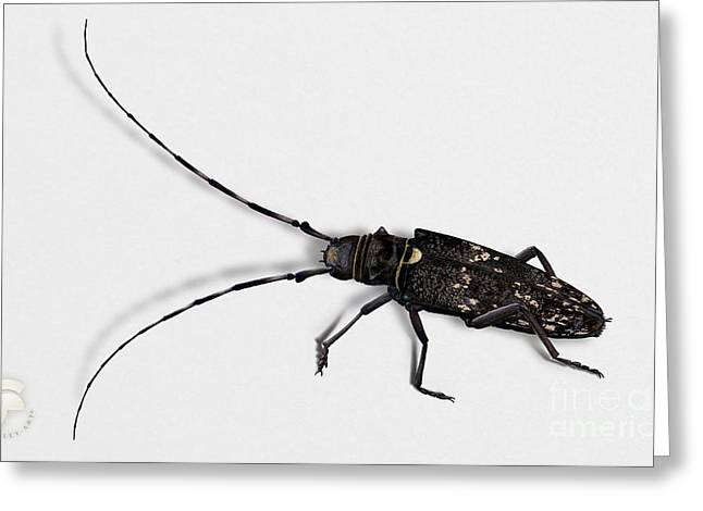 Long-hornded Wood Boring Beetle Monochamus Sartor - Coleoptere Monochame Tailleur - Greeting Card