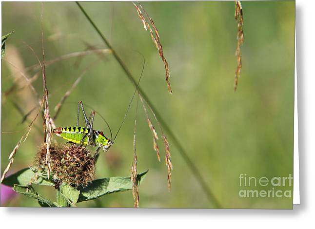 Greeting Card featuring the photograph Long-horned Katydid by Jivko Nakev