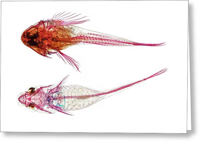 Long-spined Sea Scorpion And Clingfish Greeting Card by Natural History Museum, London