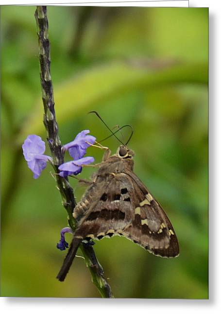 Long Tail Skipper Greeting Card by Julie Cameron
