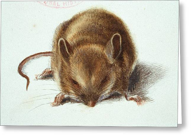 Long-tailed Field Mouse Greeting Card by Natural History Museum, London