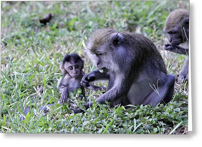 Greeting Card featuring the photograph Long Tailed Macaque Family by Shoal Hollingsworth