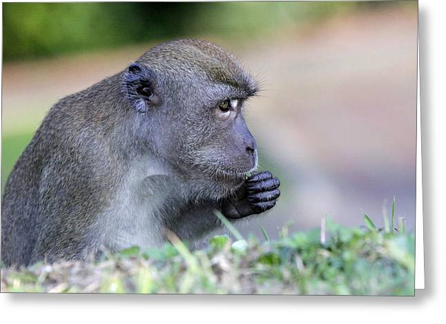 Greeting Card featuring the photograph Long Tailed Macaque Feeding by Shoal Hollingsworth