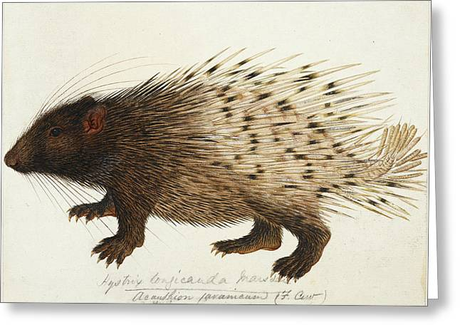 Long Tailed Porcupine From Sumatra Greeting Card by British Library