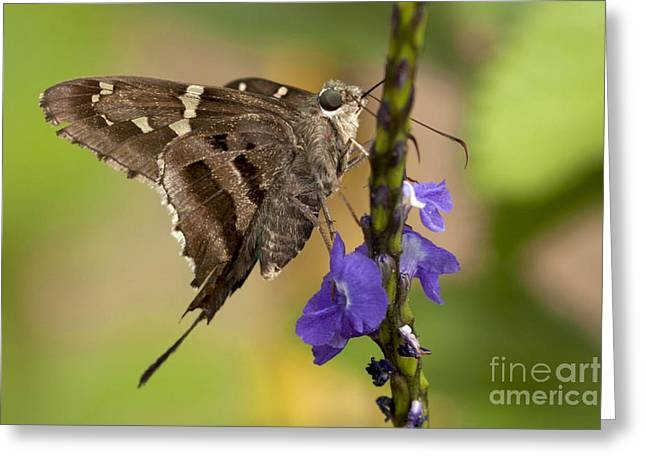 Greeting Card featuring the photograph Long-tailed Skipper Photo by Meg Rousher