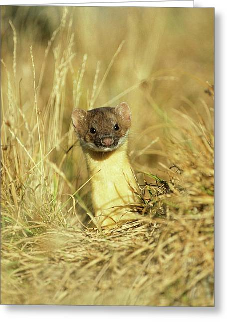 Long-tailed Weasel (mustela Frenata Greeting Card by Richard and Susan Day