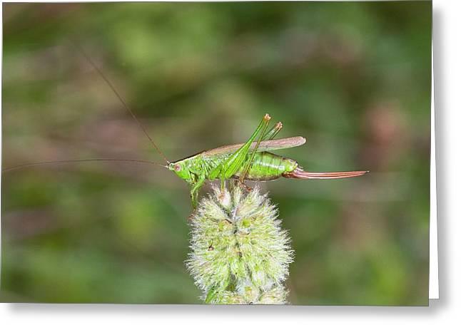 Long-winged Conehead Bush-cricket Greeting Card