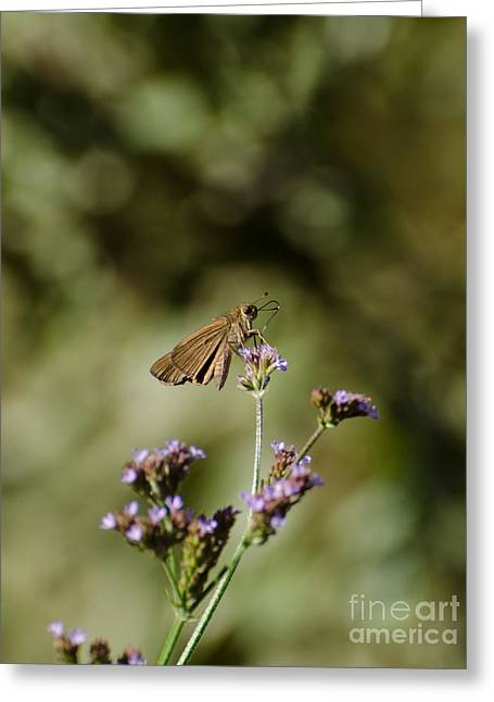 Long-winged Skipper Butterfly Greeting Card