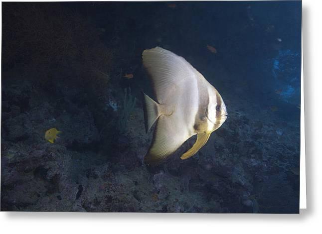Longfin Spadefish, Beqa Lagoon, Fiji Greeting Card