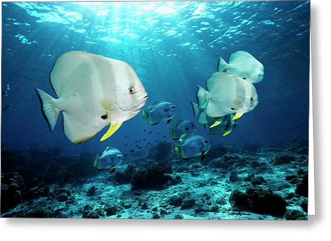 Longfin Spadefish Over A Reef Greeting Card by Georgette Douwma