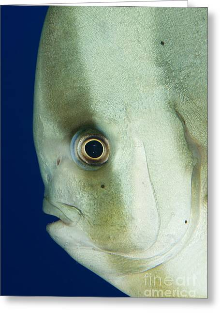 Longfin Spadefish Side On Facial View Greeting Card