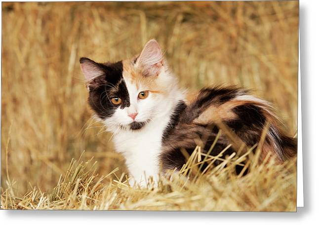 Longhair Calico Kitten In Golden Grass Greeting Card by Piperanne Worcester