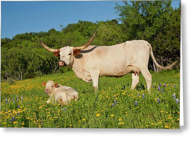Longhorn Cattle On Central Texas Ranch Greeting Card