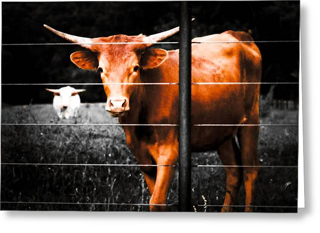 Longhorn Curiosity Greeting Card by Bartz Johnson