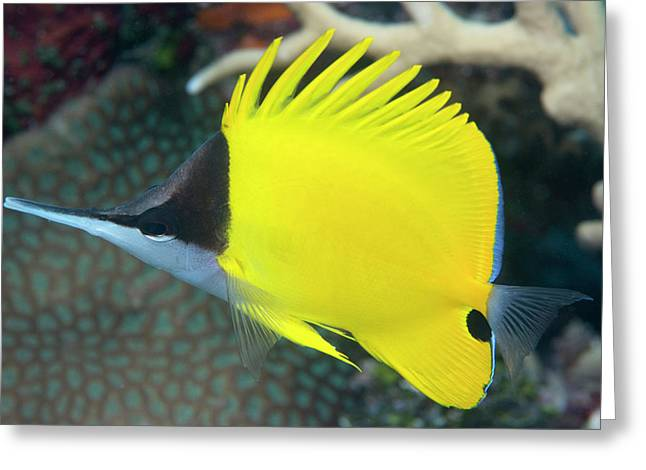 Longnose Butterflyfish On A Reef Greeting Card