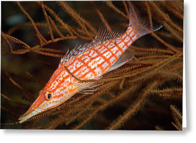 Longnose Hawkfish On Black Coral Greeting Card