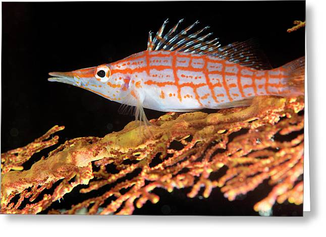 Longnose Hawkfish On Coral Greeting Card by Louise Murray