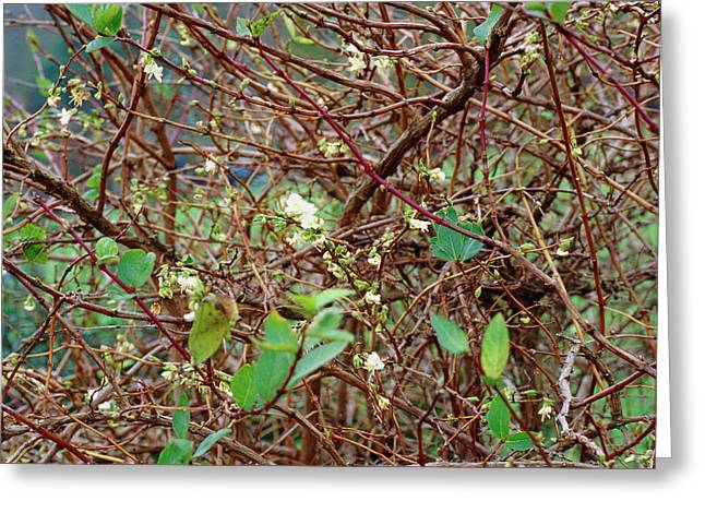 Lonicera X Purpusii Winter Beauty. Greeting Card by Adrian Thomas/science Photo Library