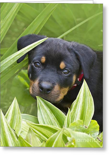 Rottweiler Puppy Greeting Card
