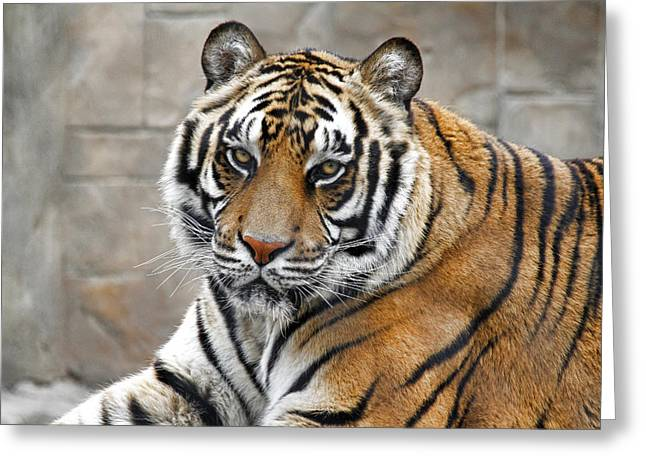 Look Of The Tiger Greeting Card by Athena Mckinzie
