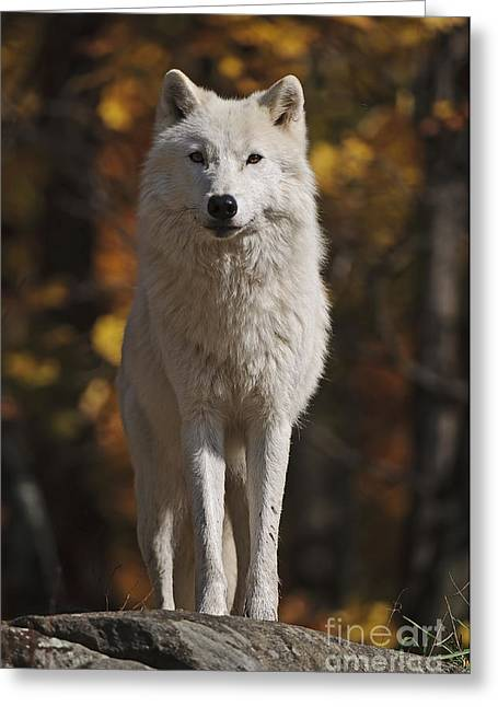 Greeting Card featuring the photograph Look Out by Wolves Only