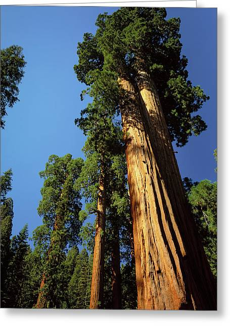 Looking Up A Giant Sequoia Tree Greeting Card by Greg Probst