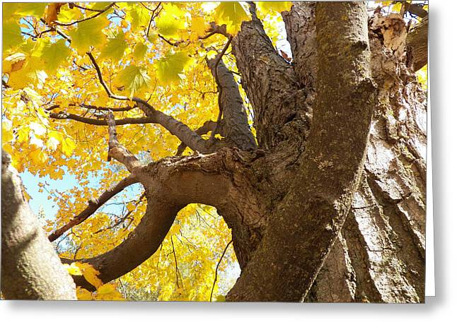 Looking Up The Maple Tree Greeting Card