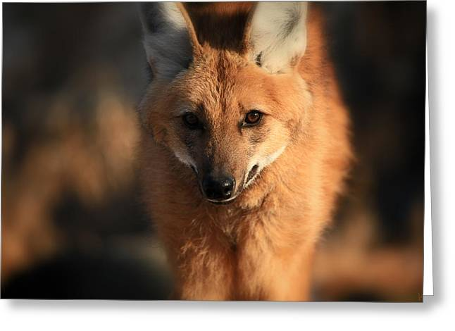 Looks Like A Fox Greeting Card by Karol Livote