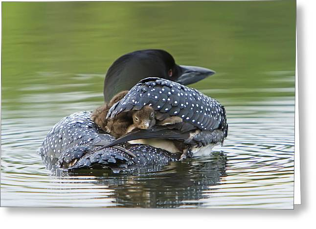 Loon Chick - Peek A Boo Greeting Card