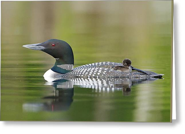 Loon Chick With Parent - Quiet Time Greeting Card