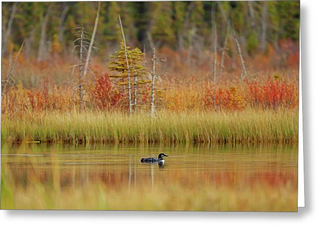 Loon  Gavia Immer  Swimming On Talbot Greeting Card by Ron Harris