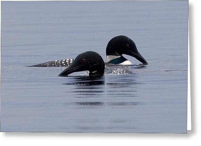 Loon Love Greeting Card by Brent L Ander