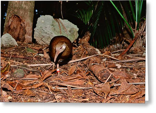 Lord Howe Woodhen Bird Standing Under Greeting Card by Panoramic Images