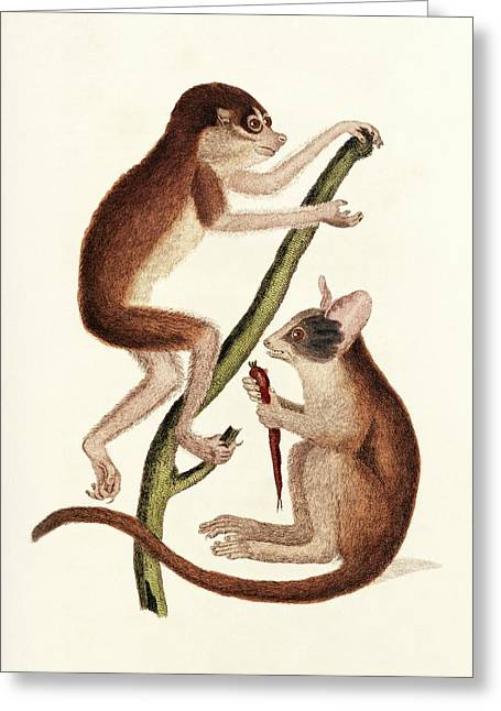 Loris And Bushbaby Greeting Card