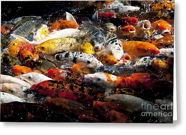 Lots Of Hungry Koi  Greeting Card by Wilma  Birdwell