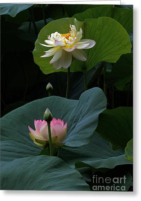 Lotus Beauties In White Pink Gold And Green Greeting Card by Byron Varvarigos