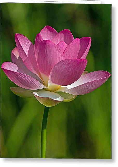 Greeting Card featuring the photograph Lotus Bloom by Jerry Gammon
