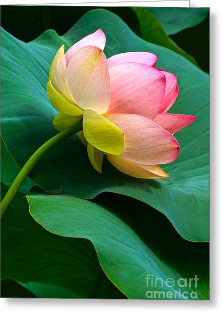 Lotus Blossom And Leaves Greeting Card
