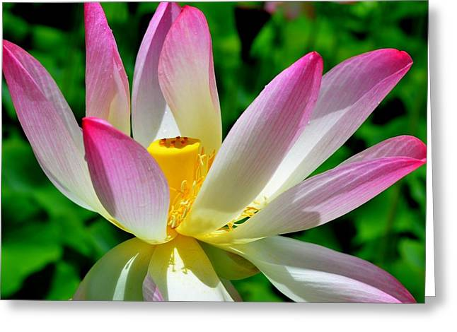 Lotus Blossom Greeting Card by Mary Deal